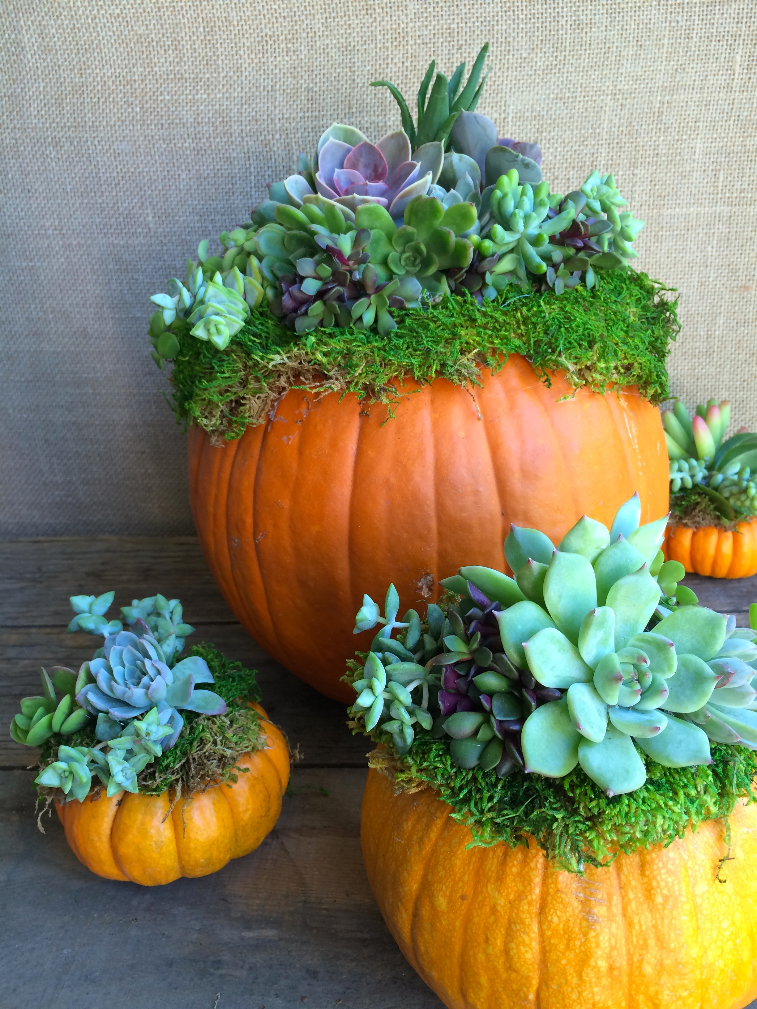 Pumpkins Succulents Jane Can